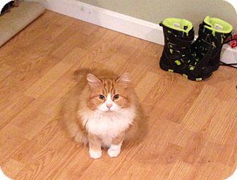 Domestic Longhair Cat for adoption in Salem, New Hampshire - Morgan