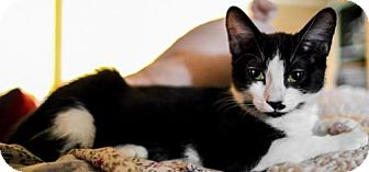 Domestic Shorthair Cat for adoption in Los Angeles, California - Ziggy (Tux)