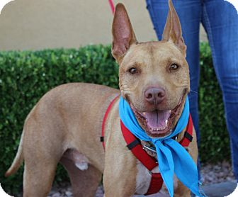 Pharaoh Hound/American Pit Bull Terrier Mix Dog for adoption in Las Vegas, Nevada - STITCH