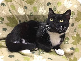 Domestic Shorthair Cat for adoption in Lexington, North Carolina - Starlight