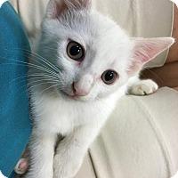 Adopt A Pet :: Sasha - Marco Island, FL