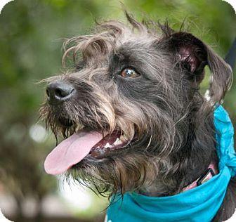 Terrier (Unknown Type, Medium)/Standard Schnauzer Mix Dog for adoption in Houston, Texas - Phoebe