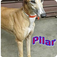 Adopt A Pet :: Pilar - Thornton, CO