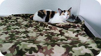 Domestic Shorthair Kitten for adoption in China, Michigan - Jasmine