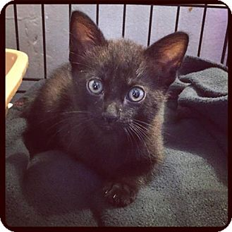 Domestic Shorthair Kitten for adoption in Los Angeles, California - Poppy Seed