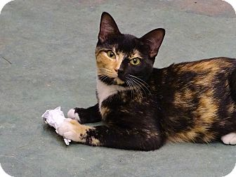Calico Cat for adoption in Port St. Joe, Florida - Angelina