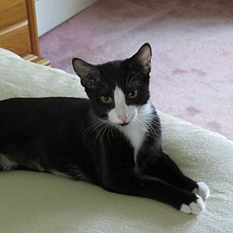 Domestic Shorthair Cat for adoption in Cumberland and Baltimore, Maryland - Cleopatra