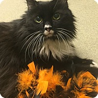 Domestic Mediumhair Cat for adoption in Manchester, New Hampshire - Emma-Watch my awesome video!