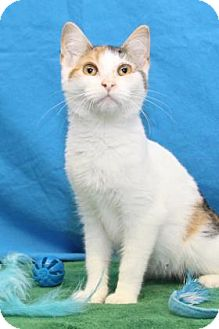 Domestic Shorthair Kitten for adoption in South Bend, Indiana - Haze;