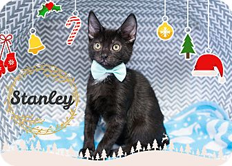Domestic Shorthair Kitten for adoption in Montclair, California - Stanley