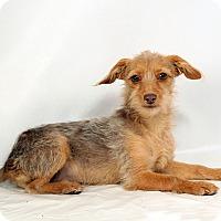 Adopt A Pet :: Iona Yorkiemix - St. Louis, MO
