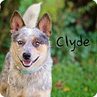 Adopt A Pet :: Clyde - Joliet, IL