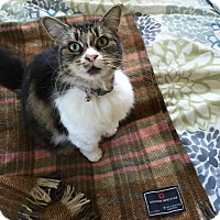 Maine Coon Cat for adoption in Pasadena, California - Madison