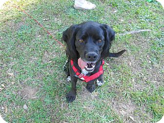 Cocker Spaniel/Beagle Mix Dog for adoption in Conyers, Georgia - Beau