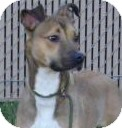 Boxer/Greyhound Mix Dog for adoption in Lincolnton, North Carolina - Bambi