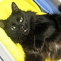 Domestic Shorthair Cat for adoption in Clay, New York - BLACK CATS