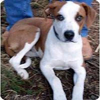 Adopt A Pet :: Opie - Harrison, AR