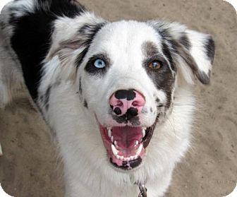 Australian Shepherd Dog for adoption in Holly Springs, North Carolina - Echo