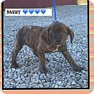 Adopt A Pet :: Danny (Pom)