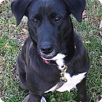 Adopt A Pet :: Cam - Boston, MA