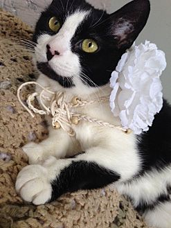 Domestic Shorthair Cat for adoption in Bryn Mawr, Pennsylvania - CLAIRE/ LAP KITTY