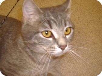 Domestic Shorthair Cat for adoption in Muscatine, Iowa - Sally