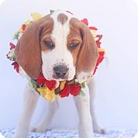 Adopt A Pet :: Xena - Auburn, CA