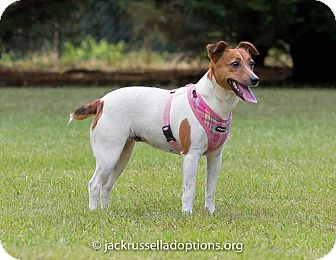 Jack Russell Terrier Dog for adoption in Conyers, Georgia - Polly