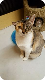 Calico Cat for adoption in El Cajon, California - Nala
