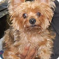 Adopt A Pet :: Jezabelle - Brooklyn, NY