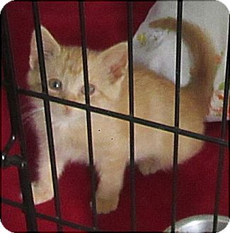 Domestic Shorthair Kitten for adoption in Glenwood, Minnesota - Ginger