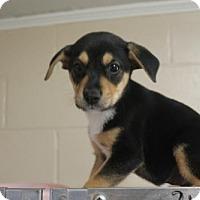 Adopt A Pet :: Scout - Monroe, GA