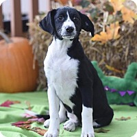 Adopt A Pet :: Harlow - Mechanicsburg, PA