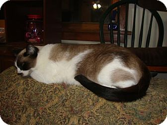 Siamese Cat for adoption in Rochester, Minnesota - Storm
