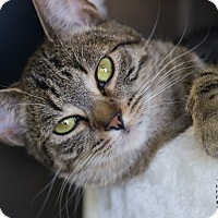 Domestic Shorthair Cat for adoption in Houston, Texas - REMMIE