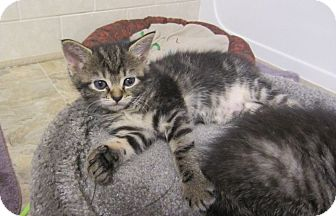 Domestic Shorthair Kitten for adoption in Youngsville, North Carolina - Liberty