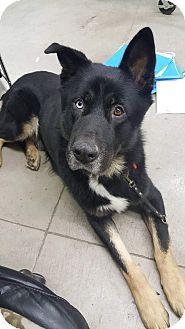 German Shepherd Dog/Husky Mix Dog for adoption in Salem, Oregon - Juno