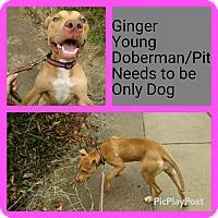 Adopt A Pet :: Ginger - East McKeesport, PA