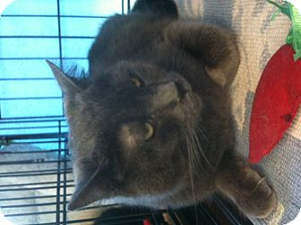 Russian Blue Cat for adoption in West Dundee, Illinois - Pirate