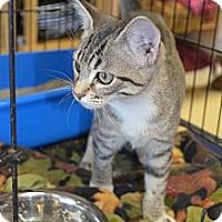 Adopt A Pet :: Attie - Houston, TX
