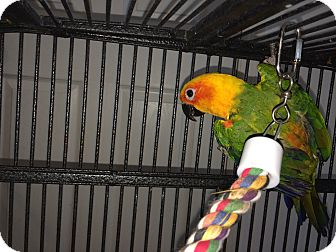 Conure for adoption in Punta Gorda, Florida - Mookie
