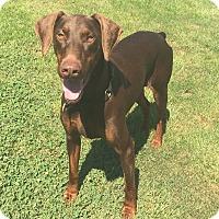 Adopt A Pet :: Resa - Arlington, VA