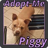 Adopt A Pet :: Piggy - Cheney, KS