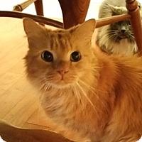 Adopt A Pet :: Jasper (front-declawed) - Fairfax, VA