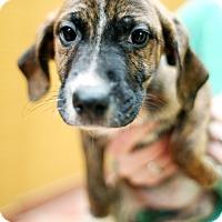 Adopt A Pet :: Shrimp - Appleton, WI