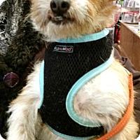 Adopt A Pet :: Chili - Boulder, CO