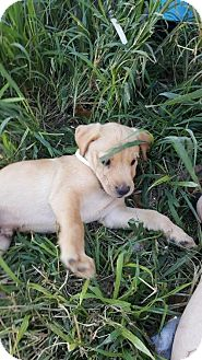 Labrador Retriever Mix Dog for adoption in Von Ormy, Texas - Beau(TCR)
