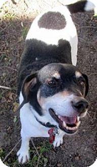 Beagle/Hound (Unknown Type) Mix Dog for adoption in Bloomington, Illinois - Lando