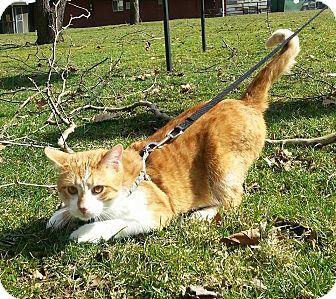 Domestic Shorthair Cat for adoption in Shinnston, West Virginia - Zeke