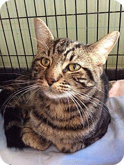 Domestic Shorthair Cat for adoption in Breinigsville, Pennsylvania - Fonzie